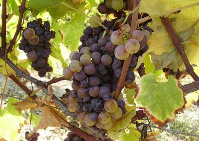 Grappe raisin Château La Bertrande - CADILLAC COTES-DE-BORDEAUX LOUPIAC-